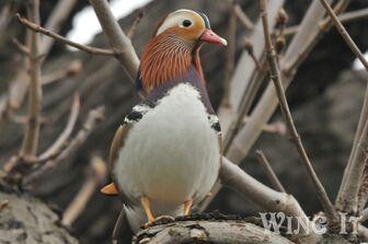 Mandarin Duck (S.Allen)
