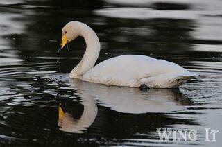 Whooper Swan (S.Allen)