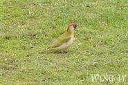 Green Woodpecker 2 (S.Allen)