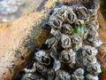 Elminius modestus ~ Darwin's Barnicle.JPG