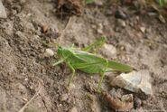 Great Green Bush Cricket 3