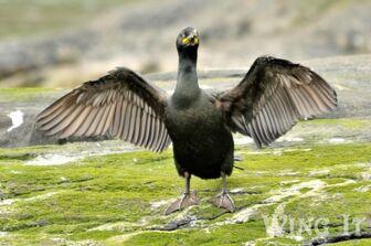 Cormorant (S.Allen)