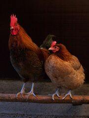 449px-Female pair