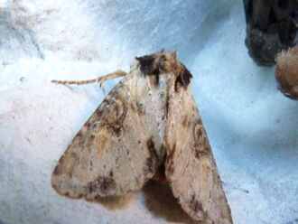 Apamea crenata ~ Clouded-bordered Brindle