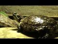 Red eared slider.png