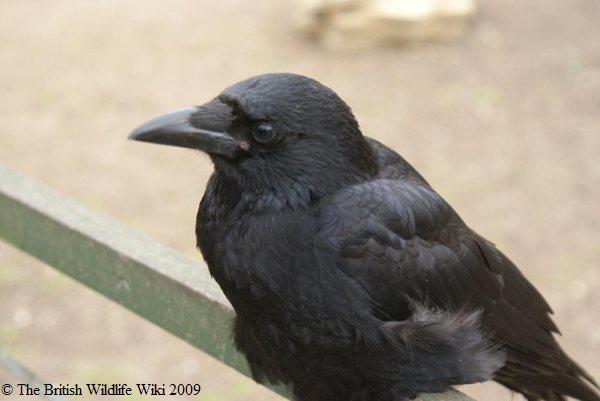 File:Carrion Crow.jpg