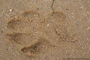 Dog Track Sand