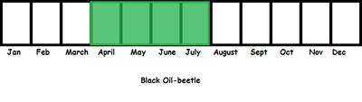 Black Oil-beetle TL