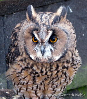 Long-eared owl at British Wildlife Centre