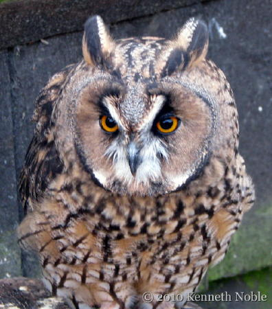File:Long-eared owl at British Wildlife Centre.jpg