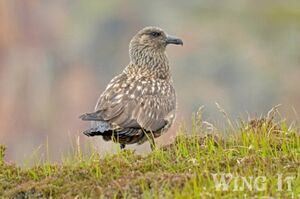 Great Skua (S.Allen)