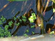 Greater Duckweed