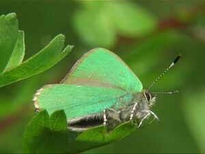 The Green Hairstreak