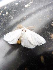 Euproctis similis ~ Yellow-tail