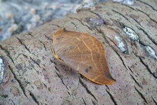 Oak Hook-tip 1