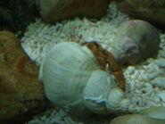 Hermit Crab rear