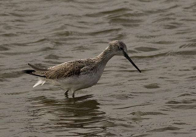 File:Greenshank.jpg