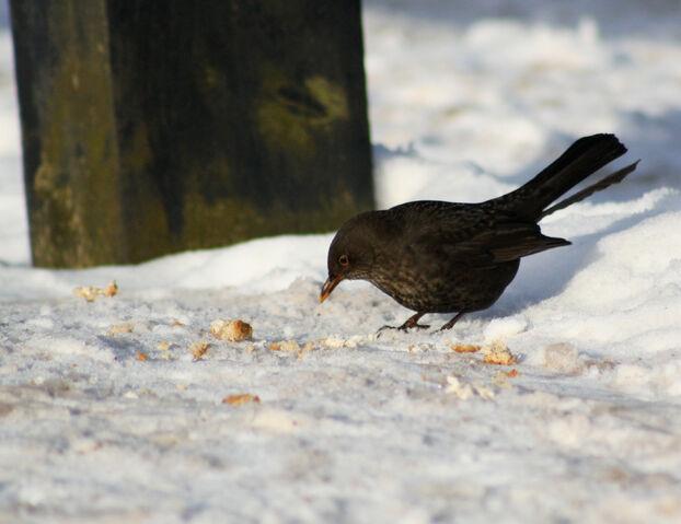 File:Female blackbird.jpg