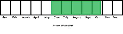 Meadow Grasshopper TL