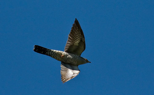 File:Cuckoo in flight.jpg