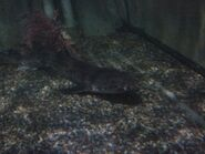 Greater Spotted Dogfish 2