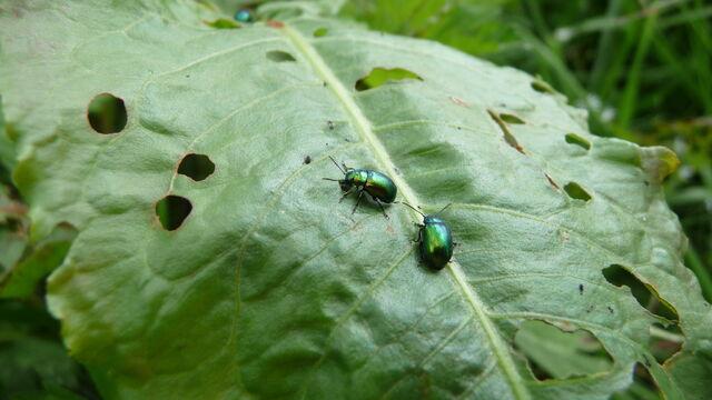 File:Green beetle.jpg