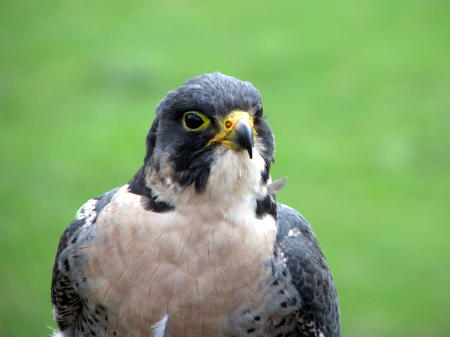 File:Peregrine at British Wildlife Centre.jpg