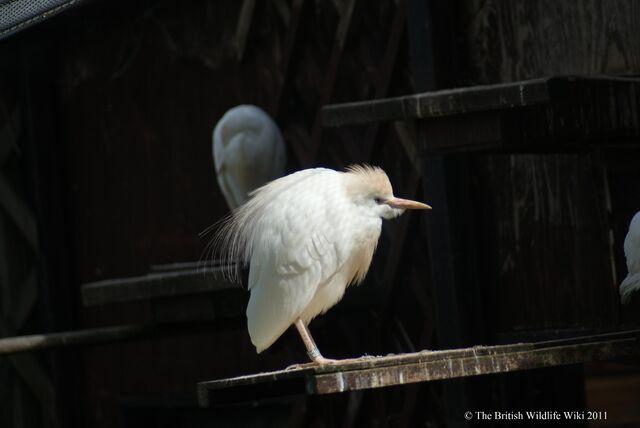 File:Cattle Egret.JPG