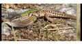 Wall Lizards Mating.png