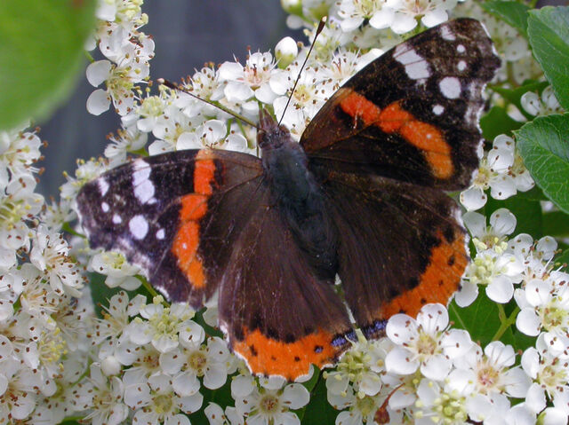 File:Red admiral KN.jpg