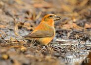 Common Crossbill 2 S.Allen