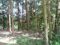 Coniferous forest interior.JPG