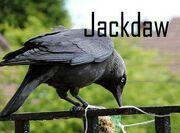 Jackdaw wwc