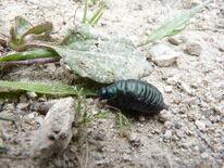 Bloody-nosed Beetle Larvea