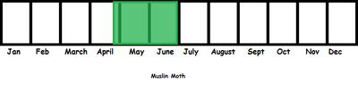 Muslin Moth TL