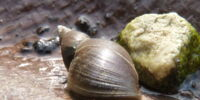 Great Pond Snail