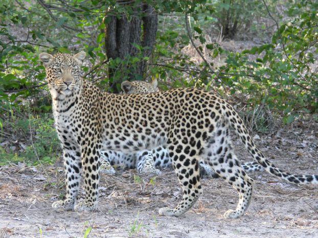 leopard niedrigere klassifizierungen