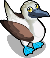 Blue Footed Booby single