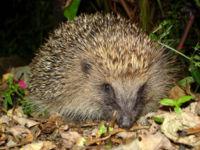 File:200px-Tygertyger hedgehog.jpg