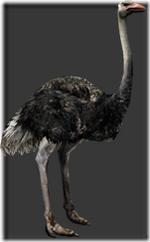 Ostrich thumb