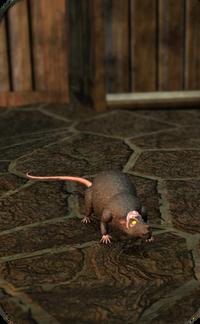 Cranium rat