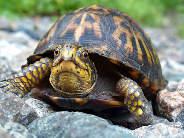 File:Eastern-box-turtle.jpg