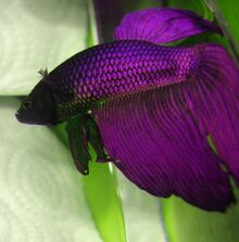 Purple betta fish 2