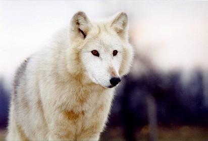 File:Wolf Form Me.jpg