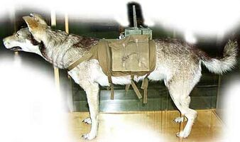 Soviet antitank dog