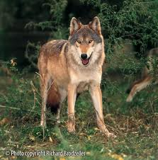 File:Wolf girl.jpg