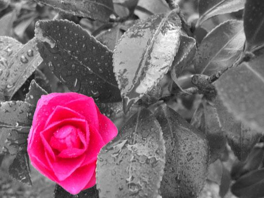 File:Colorsplash-pink-flower.jpg