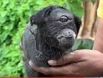 Cyclopse goat