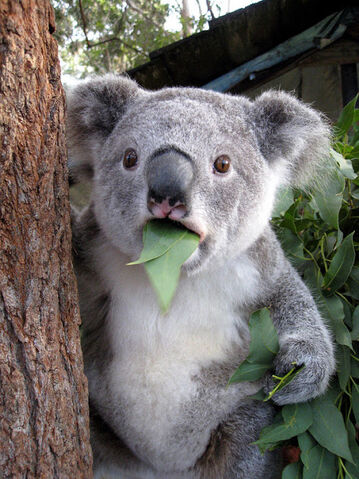 File:Koala-meme.jpg