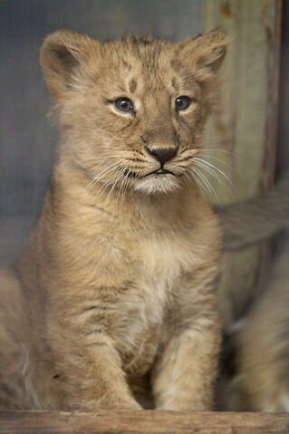 File:Baby lioness Naui.jpg